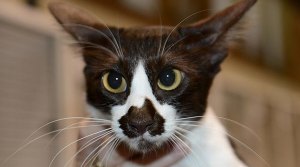 STRAYA CAT